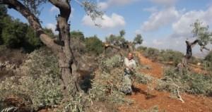 La violenza dei coloni contro gli ulivi palestinesi