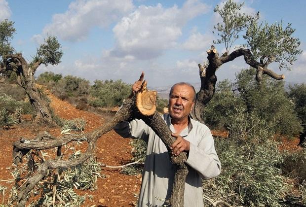 Hebron, coloni israeliani sradicano 1200 olivi