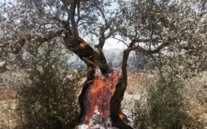Le agenzie delle Nazioni Unite e le ONG internazionali chiedono protezione per i raccoglitori di olive palestinesi