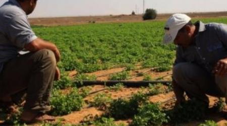 Gli Israeliani continuano ad avvelenare le coltivazioni palestinesi