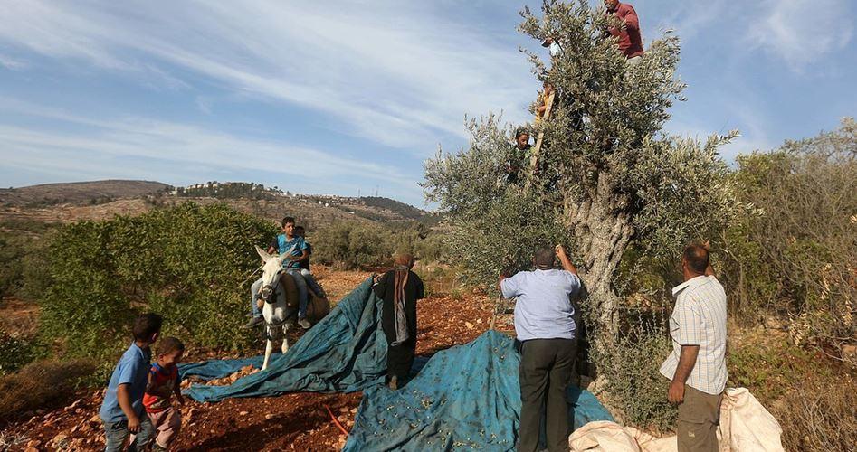 La raccolta delle olive a Selfit continua a essere minacciata dagli attacchi dei cinghiali