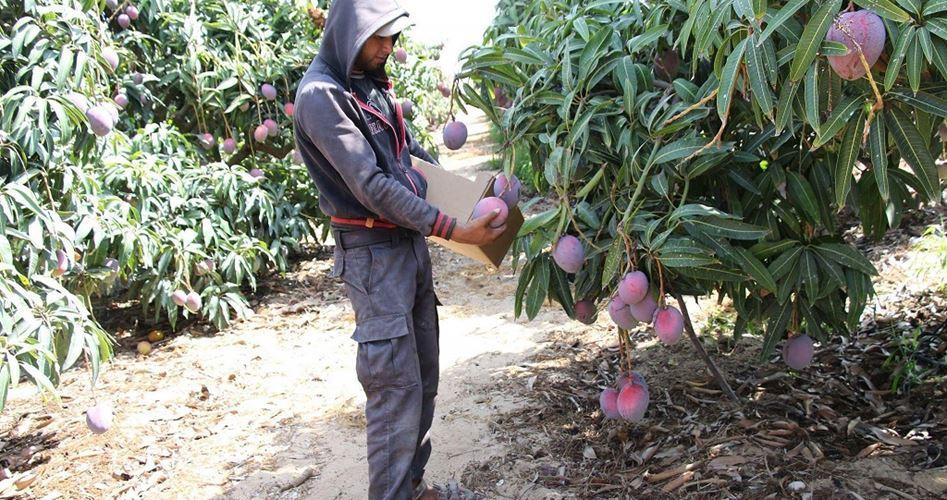 Il delizioso mango di Gaza: produzione e importazione abbondanti