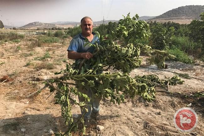 Le forze israeliane sradicano decine di alberi da frutto per far posto a strada coloniale
