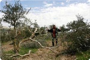 Coloni sradicano ulivi nel sud di Nablus