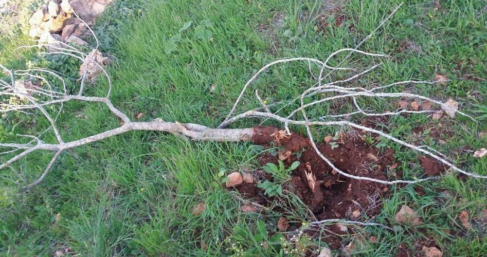 Coloni distruggono coltivazioni e alberi sul monte Subaih
