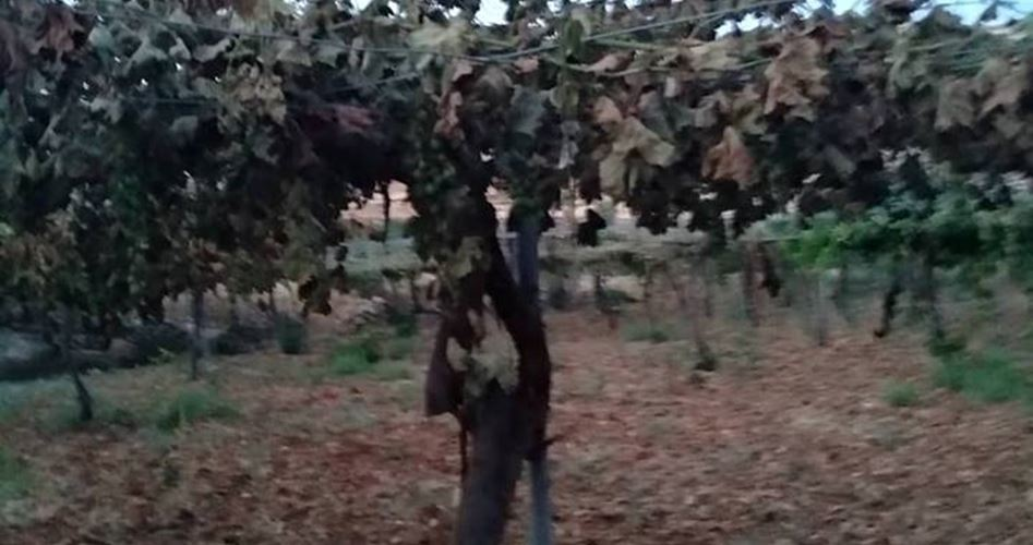 Decine di viti palestinesi distrutte da coloni