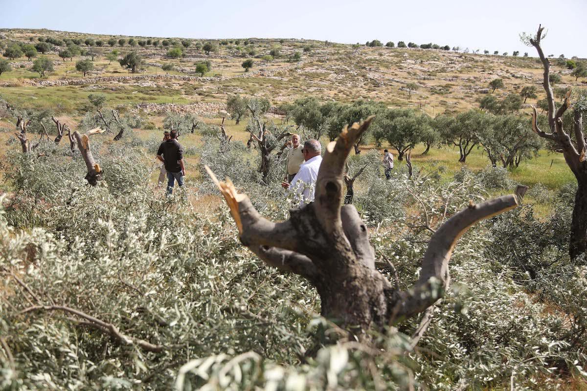 Nablus, coloni danno fuoco a 300 alberi da frutto palestinesi