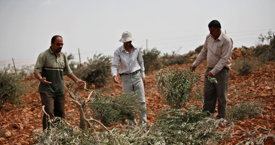 Coloni israeliani sradicano centinaia di viti palestinesi