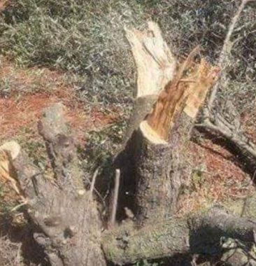 Coloni sradicano olivi vicino a Hebron