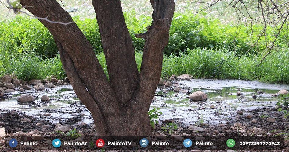 Uliveti palestinesi danneggiati gravemente da acque reflue dei coloni