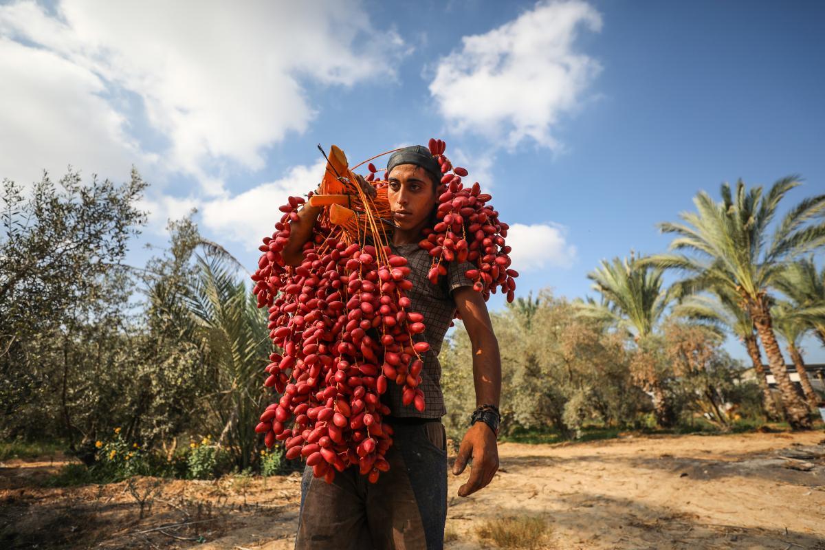 La Striscia di Gaza produce buoni datteri, ma l'assedio ne impedisce la vendita