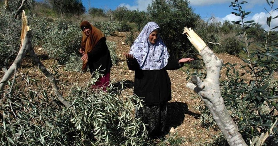 Coloni distruggono vigneti ed oliveti palestinesi a sud di Betlemme