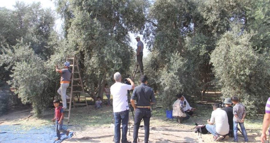 Contadini di Jenin affermano che restrizioni israeliane rovinano raccolta delle olive