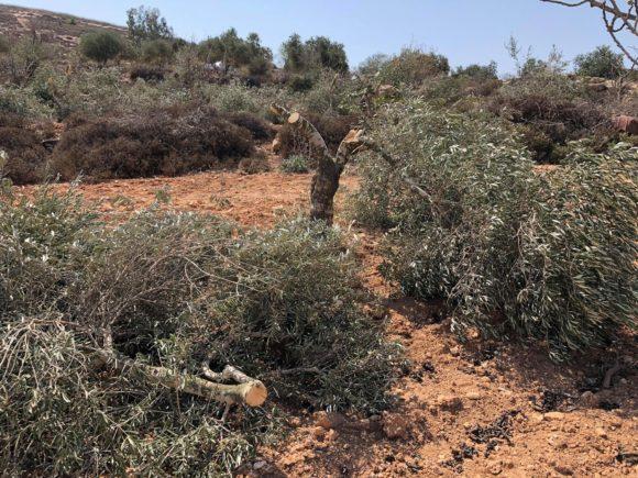 Appena comincia la raccolta delle olive, i coloni attaccano