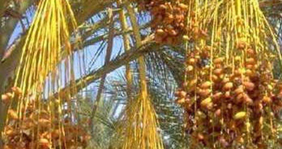Forze israeliane radono al suolo terre e rubano 500 palme a Gerico