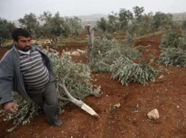 Coloni tagliano 30 olivi palestinesi vicino a Hebron