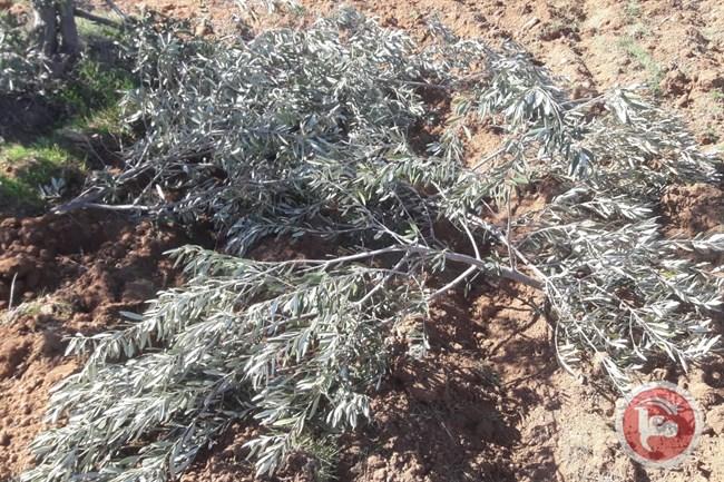 Forze israeliane sradicano 350 ulivi a Hebron