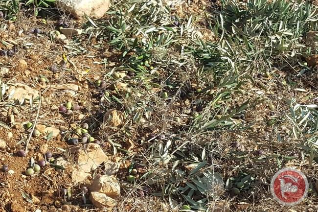 Bulldozer israeliani sradicano 120 ulivi palestinesi vicino a Ramallah