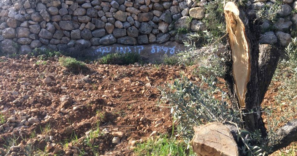Israeliani sradicano decine di ulivi a Hebron