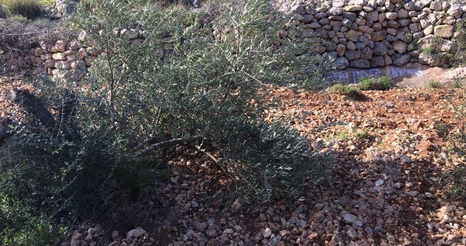 Israele e l'ambiente: coloni tagliano decine di ulivi a Nablus