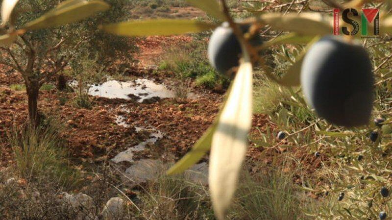 Coloni israeliani sradicano ulivi palestinesi