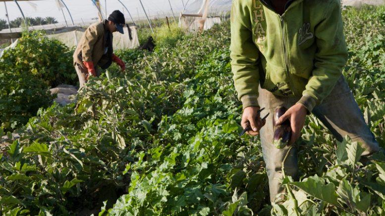 L'industria agrotecnica israeliana trae profitto dall'occupazione militare