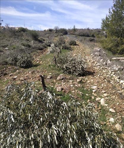 Coloni sradicano ulivi in terre palestinesi