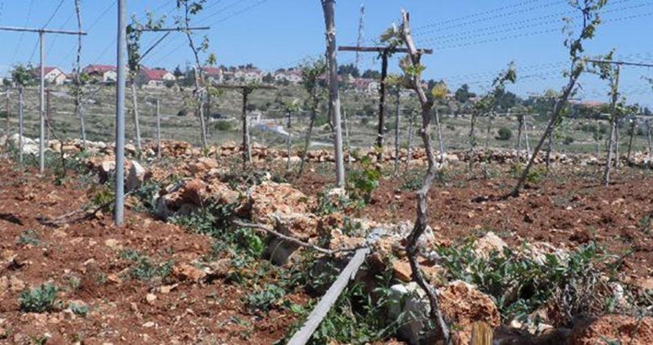 Coloni distruggono centinaia di alberi nella cittadina di al-Khader