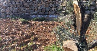 Coloni tagliano decine di ulivi palestinesi a Nablus
