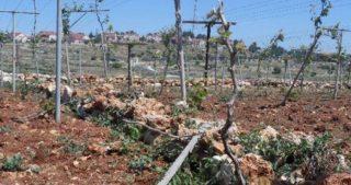 Coloni distruggono centinaia di viti nella città di al-Khader