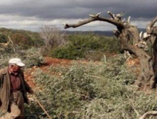 Coloni abbattono 80 ulivi a Nablus e Betlemme