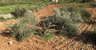 Coloni distruggono decine di ulivi a sud di Nablus