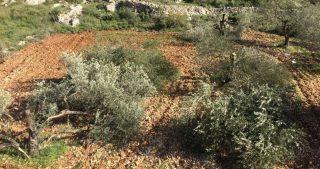 Coloni sradicano decine di ulivi a Hebron