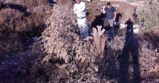 IOF sradicano ulivi per costruire strada a Nablus