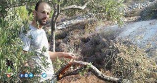 Bulldozer distruggono 22 ulivi per costruire strada per coloni