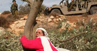 Coloni distruggono decine di ulivi ad ovest di Salfit