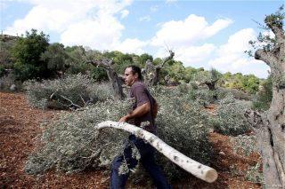 ONU: Migliaia di ulivi palestinesi danneggiati o bruciati da coloni