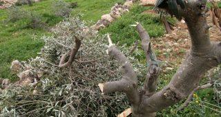 Coloni israeliani distruggono uliveti in Cisgiordania