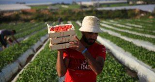 Un giorno nella vita dei coltivatori di fragole a Gaza