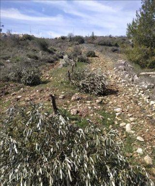 Continua la guerra israeliana contro gli alberi palestinesi: coloni sradicano centinaia di ulivi in Cisgiordania