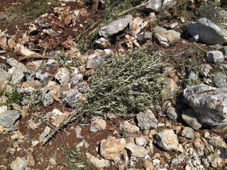 100 ulivi sradicati da coloni nel sud della Cisgiordania