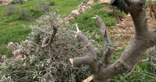 Coloni abbattono decine di ulivi nel villaggio di Walaja