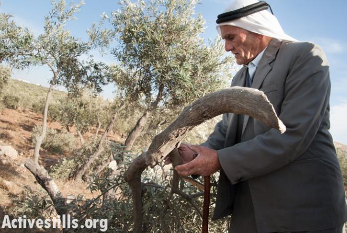 CICR: in un anno, oltre 9 mila ulivi sradicati da Israele in Cisgiordania