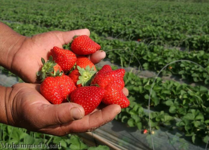 Dopo anni di divieto all'esportazione, le fragole coltivate a Gaza riprendono la strada dei mercati europei
