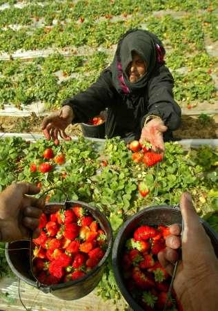 Riprende l'esportazione di fragole e fiori prodotti a Gaza