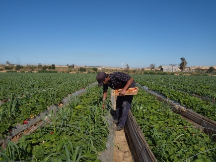 Gaza: Israele permette esportazioni di fragole e fiori verso l'Europa